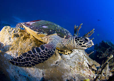 Hawksbill Turtle Resting On A Reef Poster