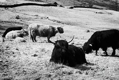 Herd Of Red And Black Highland Cattle Glencoe Highlands Scotland Uk Poster by Joe Fox