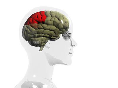 Human Brain, Parietal Lobe Poster
