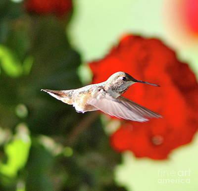 Hummingbird 4 Poster by Pamela Walrath