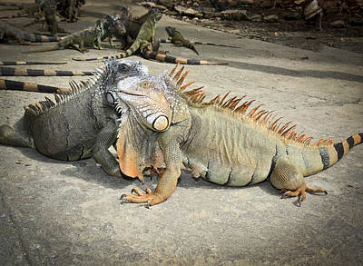Poster featuring the photograph Iguana Family by Nick Mares