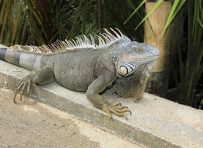 Poster featuring the photograph Iguana by Nick Mares