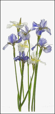 Irises In Blue And Yellow  Poster