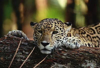Jaguar Panthera Onca Portrait, Belize Poster