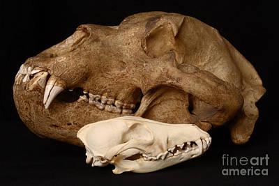 Kodiak Bear Skull With Coyote Skull Poster