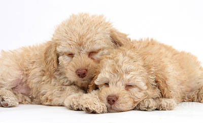 Labradoodle Puppies Poster