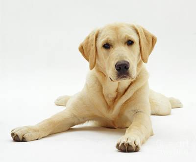Labrador X Golden Retriever Puppy Poster