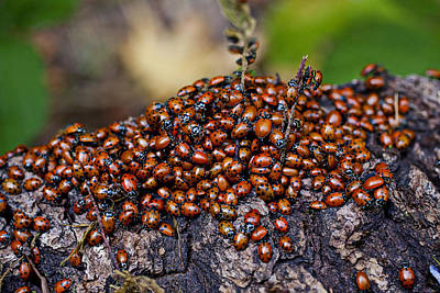 Ladybugs On Branch Poster by Garry Gay