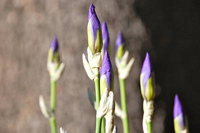 Poster featuring the photograph Lavender Iris Buds by Mary McAvoy
