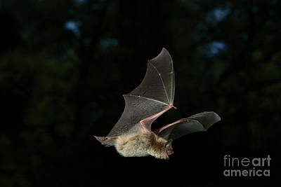 Little Brown Bat Poster by Ted Kinsman