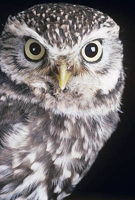 Little Owl Poster by David Aubrey