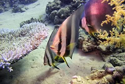 Longfin Batfish Poster by Dimitris Neroulias