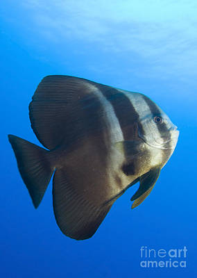 Longfin Spadefish, Papua New Guinea Poster by Steve Jones