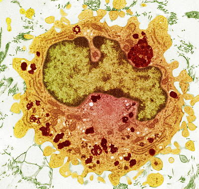 Macrophage Cell, Tem Poster by Steve Gschmeissner