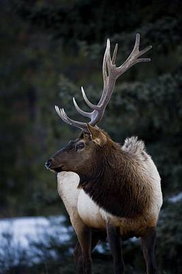 Male Elk Cervus Canadensis Poster by Richard Wear