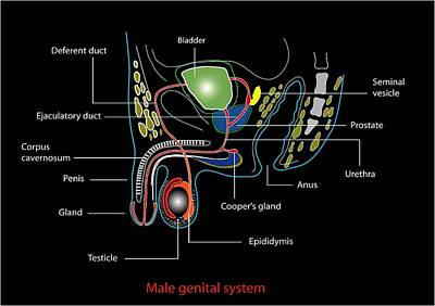 Male Genitourinary System, Artwork Poster by Francis Leroy, Biocosmos