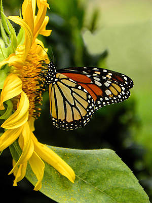 Monarch And The Sunflower Poster