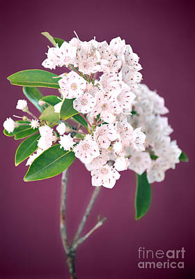 Mountain Laurel Poster by HD Connelly