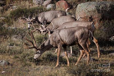 Mule Deer Bucks Poster
