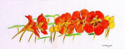 Poster featuring the drawing Nasturtiums by Barbara Moignard