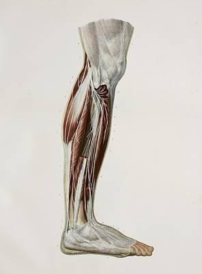 Nerves Of The Lower Leg, 1844 Artwork Poster