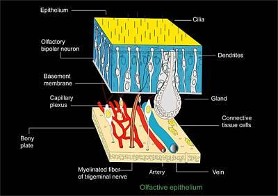 Olfactory Epithelium, Artwork Poster by Francis Leroy, Biocosmos