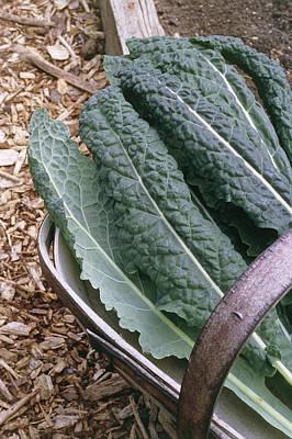 Organic Black Kale Cabbage Poster