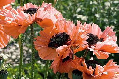 Papaver Orientale 'pink Ruffles' Poster by Adrian Thomas