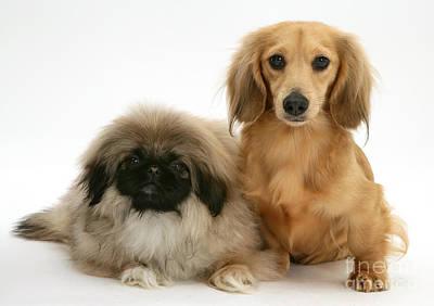 Pekingese And Dachshund Puppies Poster