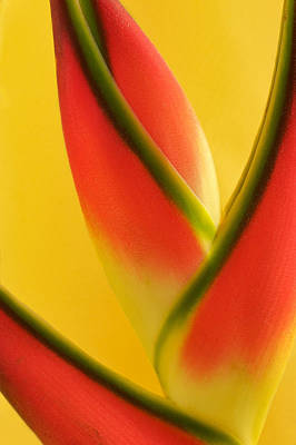 Photograph Of A Lobster Claws Heliconia Poster by Perla Copernik