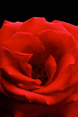 Photograph Of A Red Rose Poster by Perla Copernik
