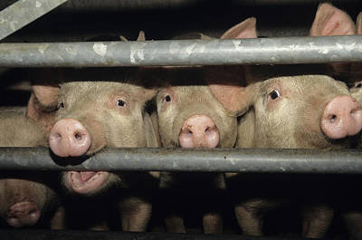 Pigs Poster by David Aubrey