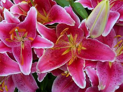 Pink Lilies With Water Droplets Poster