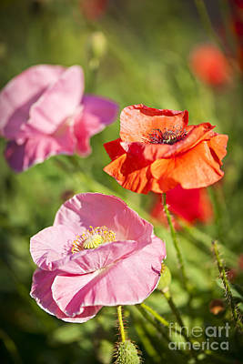 Poppies In A Garden Poster