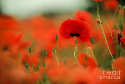 Poppy Flowers 01 Poster by Nailia Schwarz