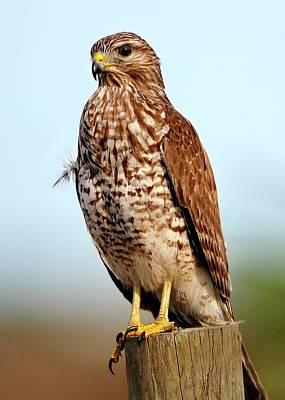 Portrait Of A Red Shouldered Hawk Poster