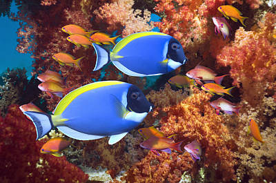 Powder-blue Surgeonfish Poster