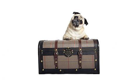 Pug Dog Poster by Mlorenzphotography