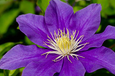 Purple Clematis Flower Poster