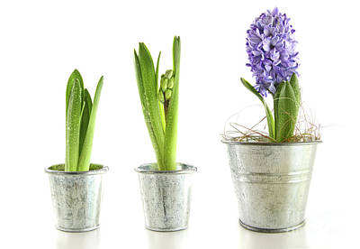 Purple Hyacinth In Garden Pots On White Poster by Sandra Cunningham