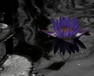 Purple Lilly In A Pond Poster