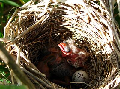 Red-winged Blackbird Babies And Egg Poster by J McCombie