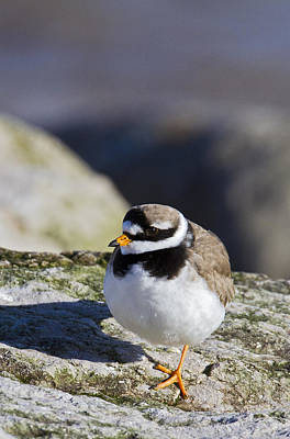 Ringed Plover Poster