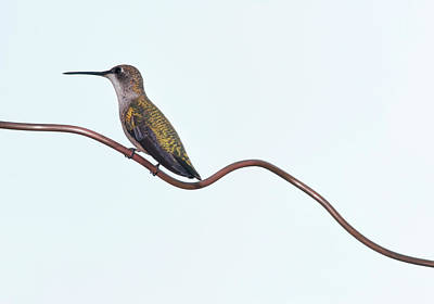 Ruby Throated Hummingbird Poster by Jim McKinley