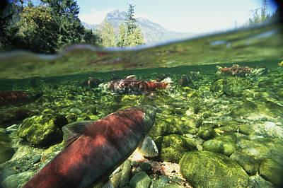 Salmon Underwater, Clayoquot Sound Poster by Joel Sartore