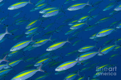 School Of Wide-band Fusilier Fish Poster by Steve Jones