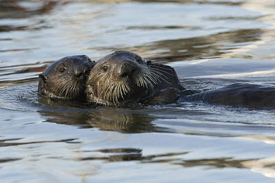 Sea Otter Mother And Pup Elkhorn Slough Poster by Sebastian Kennerknecht