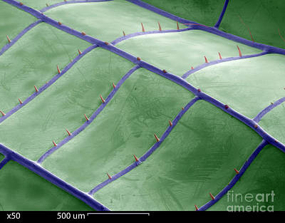 Sem Of Dragonfly Wing Poster
