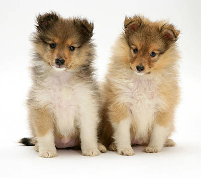 Sheltie Puppies Poster by Jane Burton