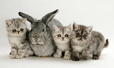 Silver Exotic Kittens And Silver Lop Poster by Jane Burton